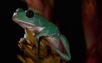 Animal - Frog Wallpapers and Backgrounds ID : 225182