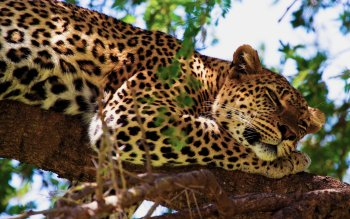 Animal - Leopard Wallpapers and Backgrounds ID : 225782
