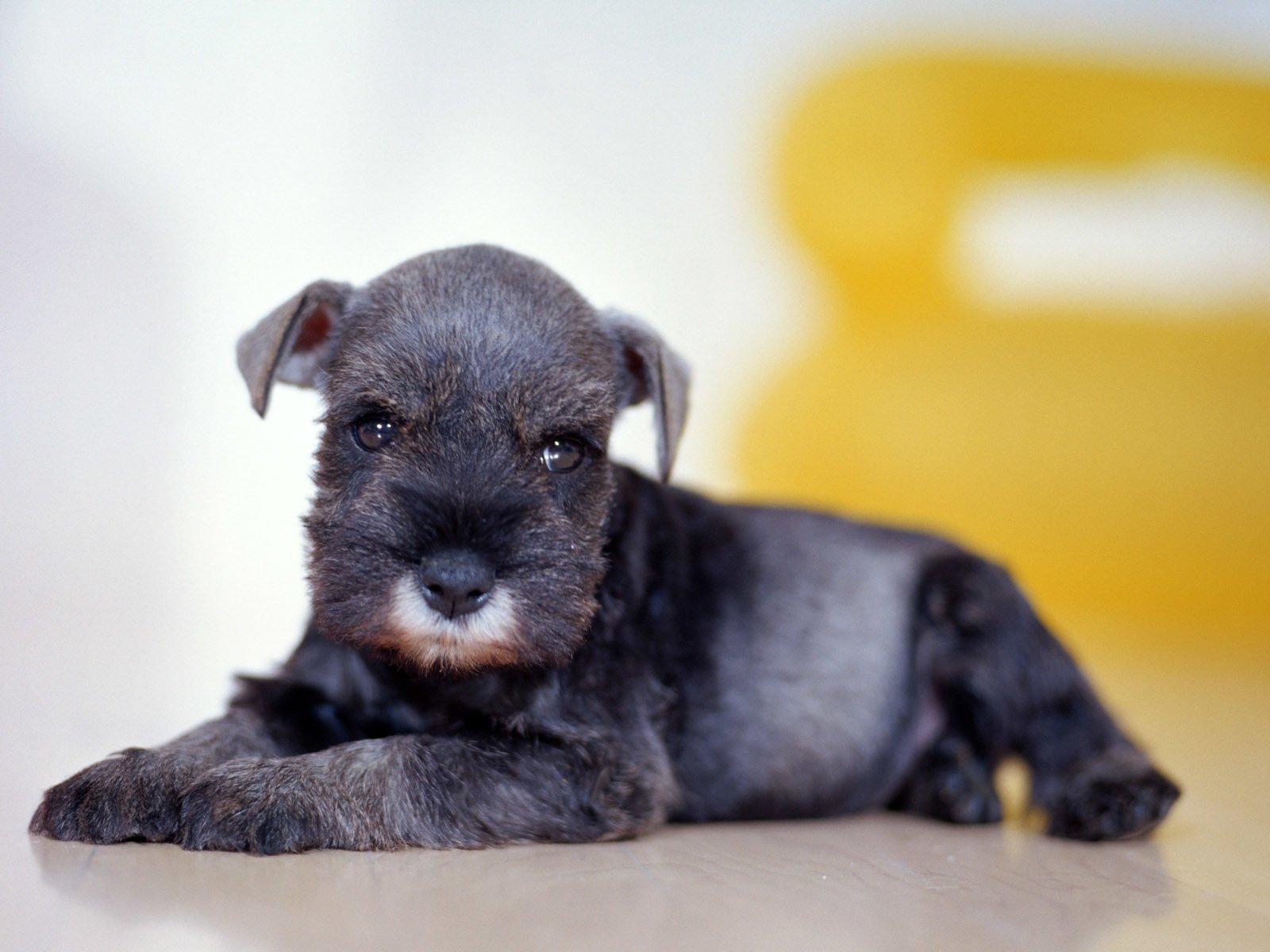 Animal - Schnauzer  Puppy Dog Wallpaper