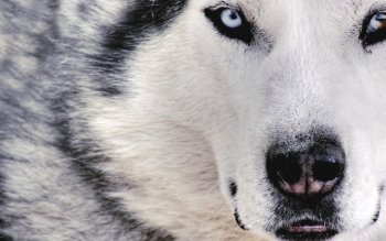 Animal - Wolfdog Wallpapers and Backgrounds ID : 231220
