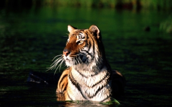 Animal - Tiger Wallpapers and Backgrounds ID : 231342
