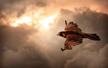 Animal - Falcon Wallpapers and Backgrounds ID : 233520