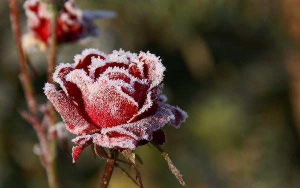 Earth Rose Flowers Frost Flower Red Flower HD Wallpaper | Background Image