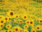 Sunflower Wallpapers and Backgrounds