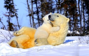 Animalia - Oso Polar Wallpapers and Backgrounds ID : 239812
