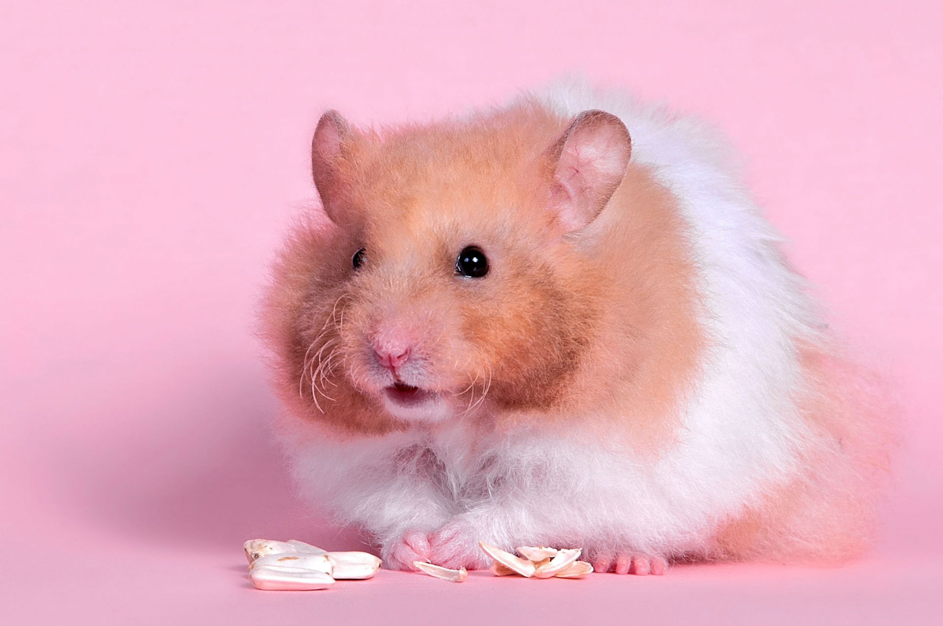 pics photos   wallpapers hamsters
