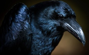 Animal - Crow Wallpapers and Backgrounds ID : 242112