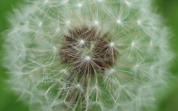 Earth - Dandelion Wallpapers and Backgrounds ID : 242140