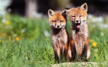 Animal - Fox Wallpapers and Backgrounds ID : 245300