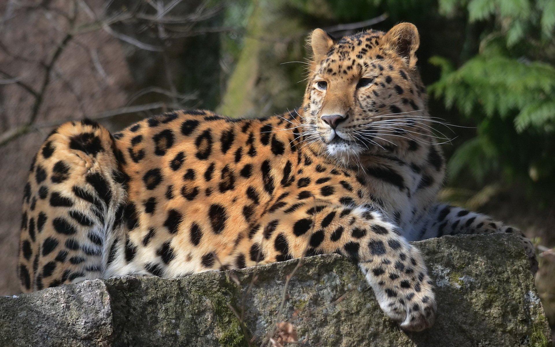 Animales Felino Leopardos Fondo De Pantalla Fondos De: Leopardo Fondo De Pantalla HD