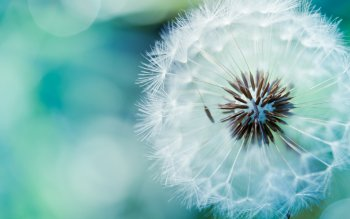 Earth - Dandelion Wallpapers and Backgrounds ID : 248980