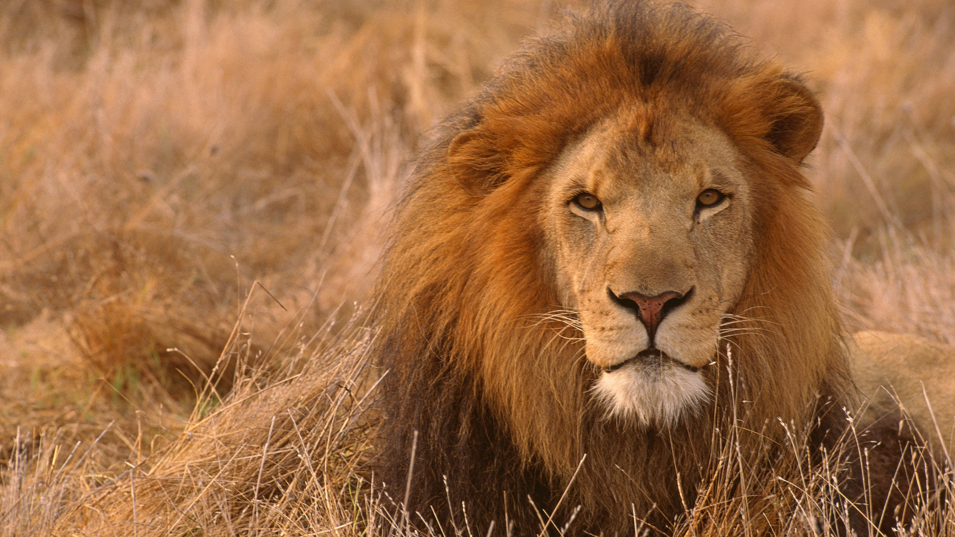 lion full hd wallpaper and background image 1920x1080