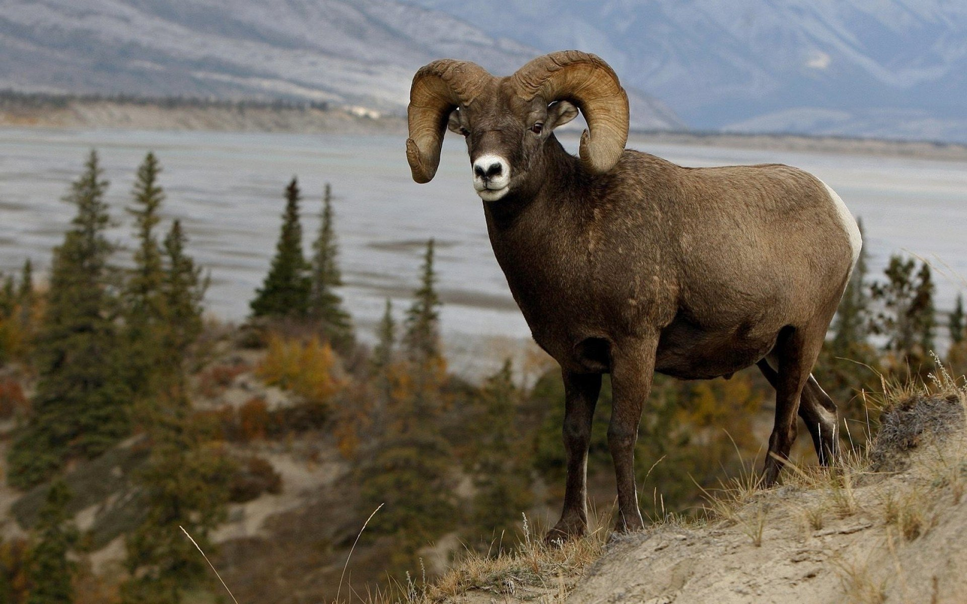 mountain sheep Full HD Wallpaper and Background Image ...