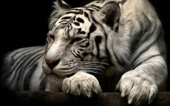 Dierenrijk - White Tiger Wallpapers and Backgrounds ID : 249250