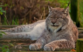 Animal - Lynx Wallpapers and Backgrounds ID : 249490