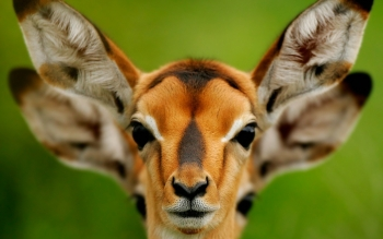 Animal - Antelope Wallpapers and Backgrounds ID : 251192