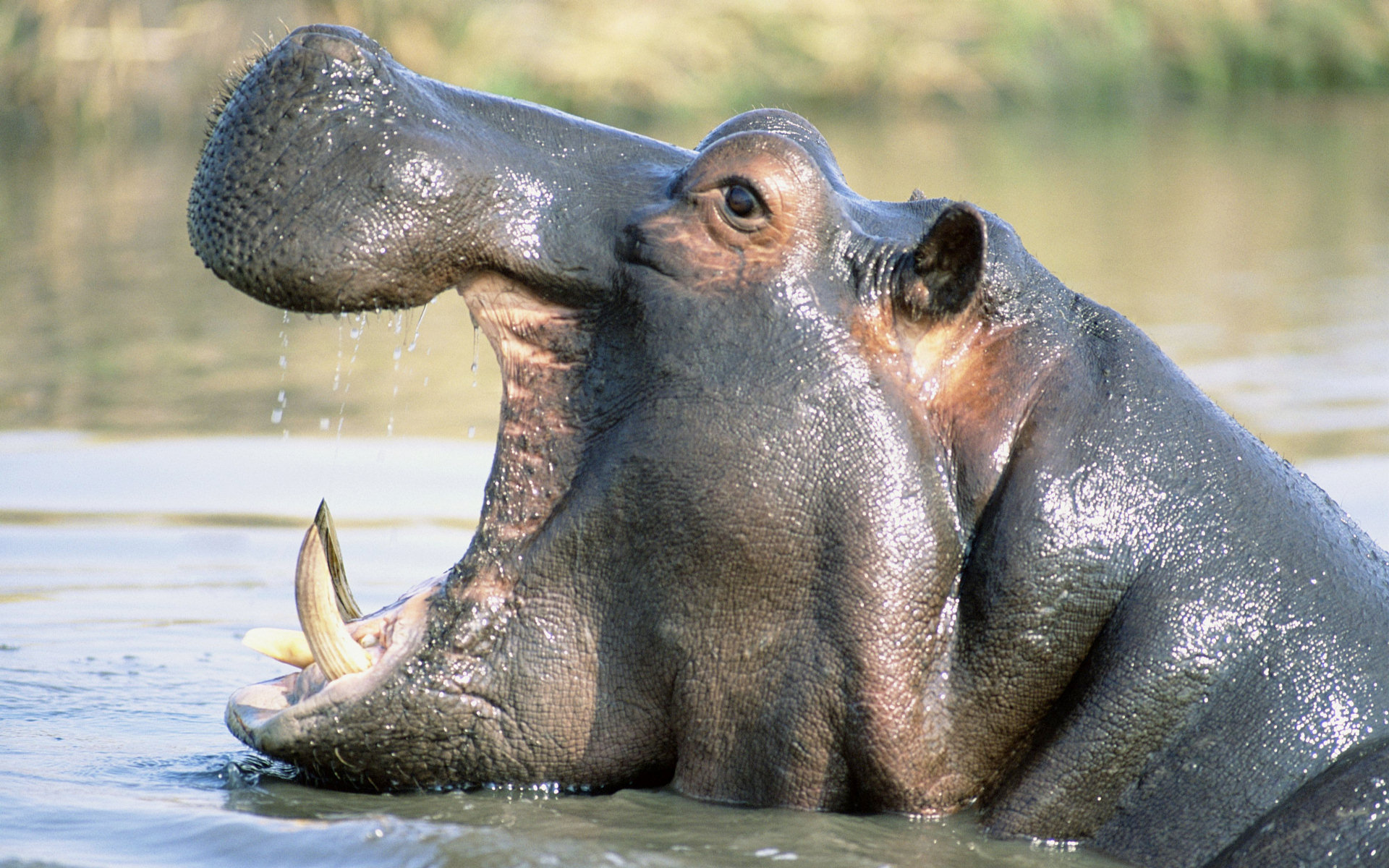 animal hippo wallpaper 1600x1200 - photo #7