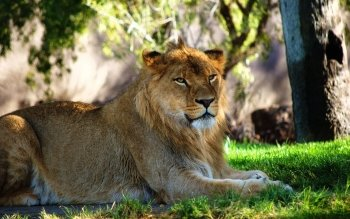 Animal - Lion Wallpapers and Backgrounds ID : 260610