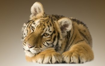 Animalia - Tigre Wallpapers and Backgrounds ID : 260832
