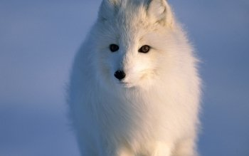 Animal - Arctic Fox Wallpapers and Backgrounds ID : 264032