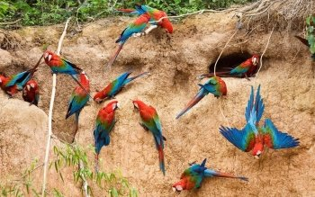 Dierenrijk - Macaw Wallpapers and Backgrounds ID : 266190