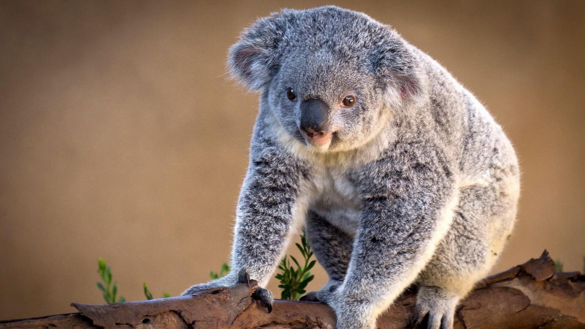 Koala Hd Wallpaper Hintergrund 1920x1080 Id268412 Wallpaper