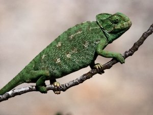 Preview Animal - Chameleon Art