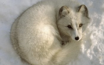 Animal - Arctic Fox Wallpapers and Backgrounds ID : 26810