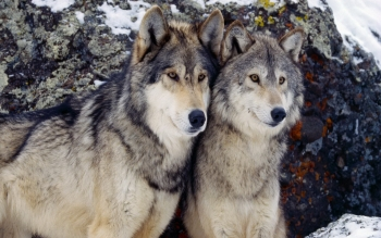 Dierenrijk - Wolf Wallpapers and Backgrounds ID : 26820
