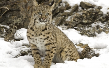 Animal - Lynx Wallpapers and Backgrounds ID : 26832
