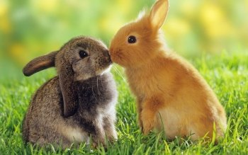 Animal - Rabbit Wallpapers and Backgrounds ID : 270200