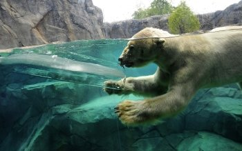 Animal - Polar Bear Wallpapers and Backgrounds ID : 270332