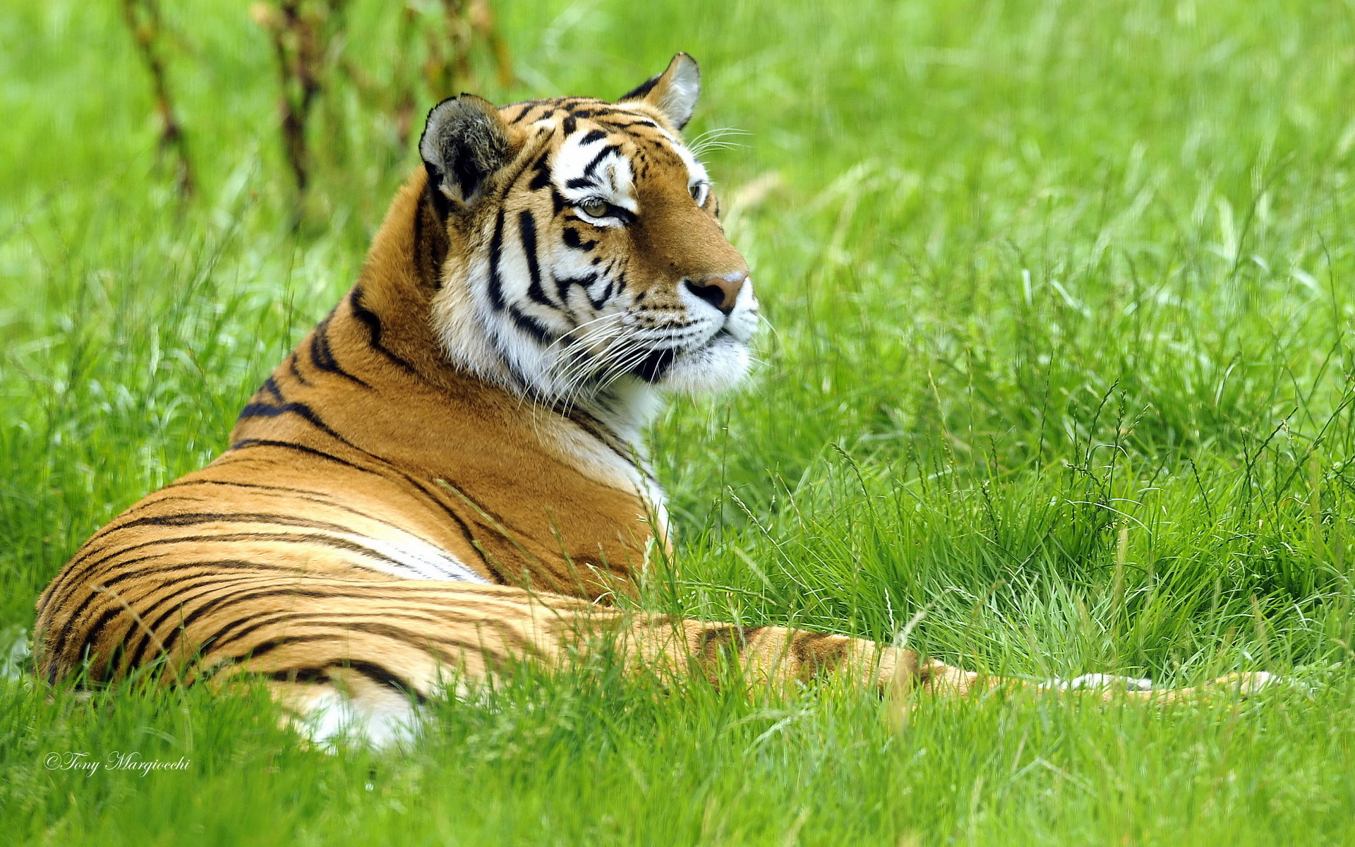 Tiger Hd Wallpaper Background Image 1920x1200 Id 275702