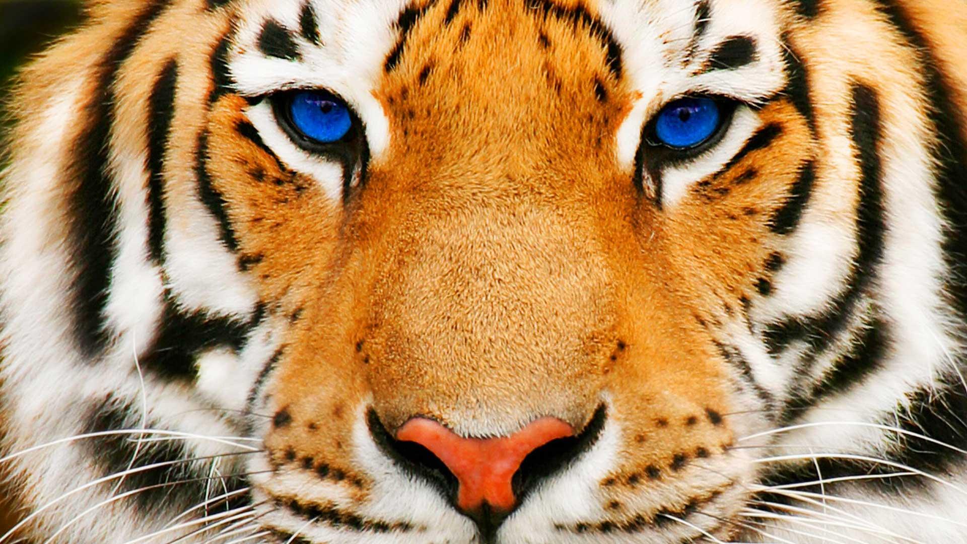 Tiger Full HD Wallpaper and Hintergrund | 1920x1080 | ID ...