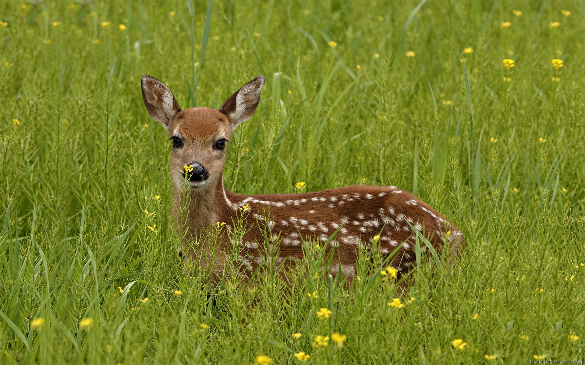 Deer Full HD Wallpaper And Background Image