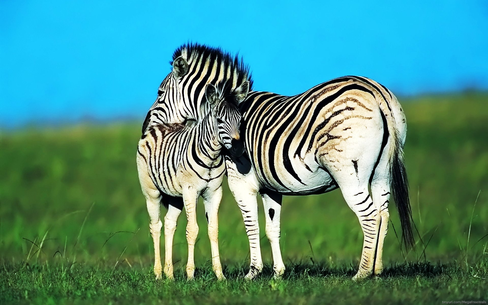 animal zebra baby animal animal wallpaper