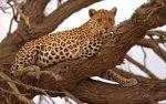 Preview Leopards