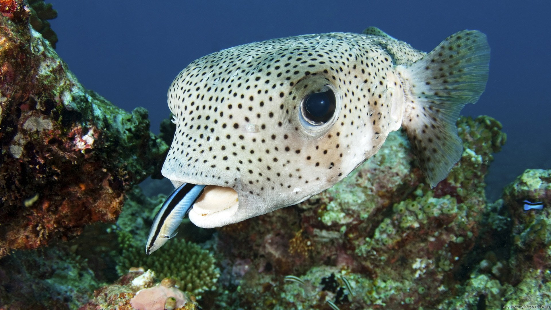 Porcupinefish Commonly Called Blowfish Full Hd Wallpaper