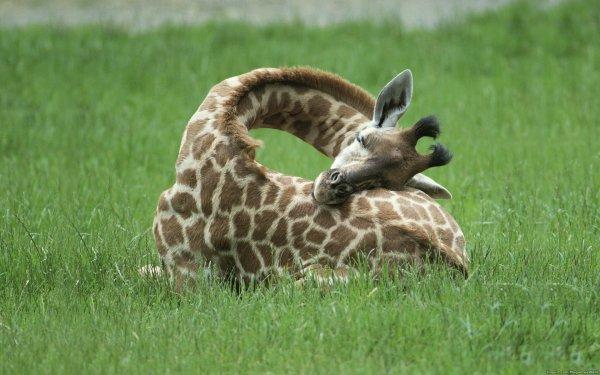 Animal Giraffe HD Wallpaper   Background Image