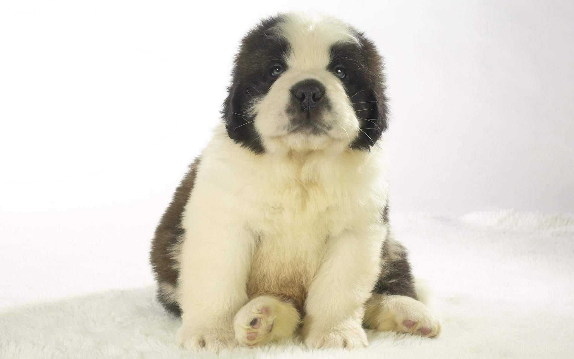 7 Saint Bernard HD Wallpapers