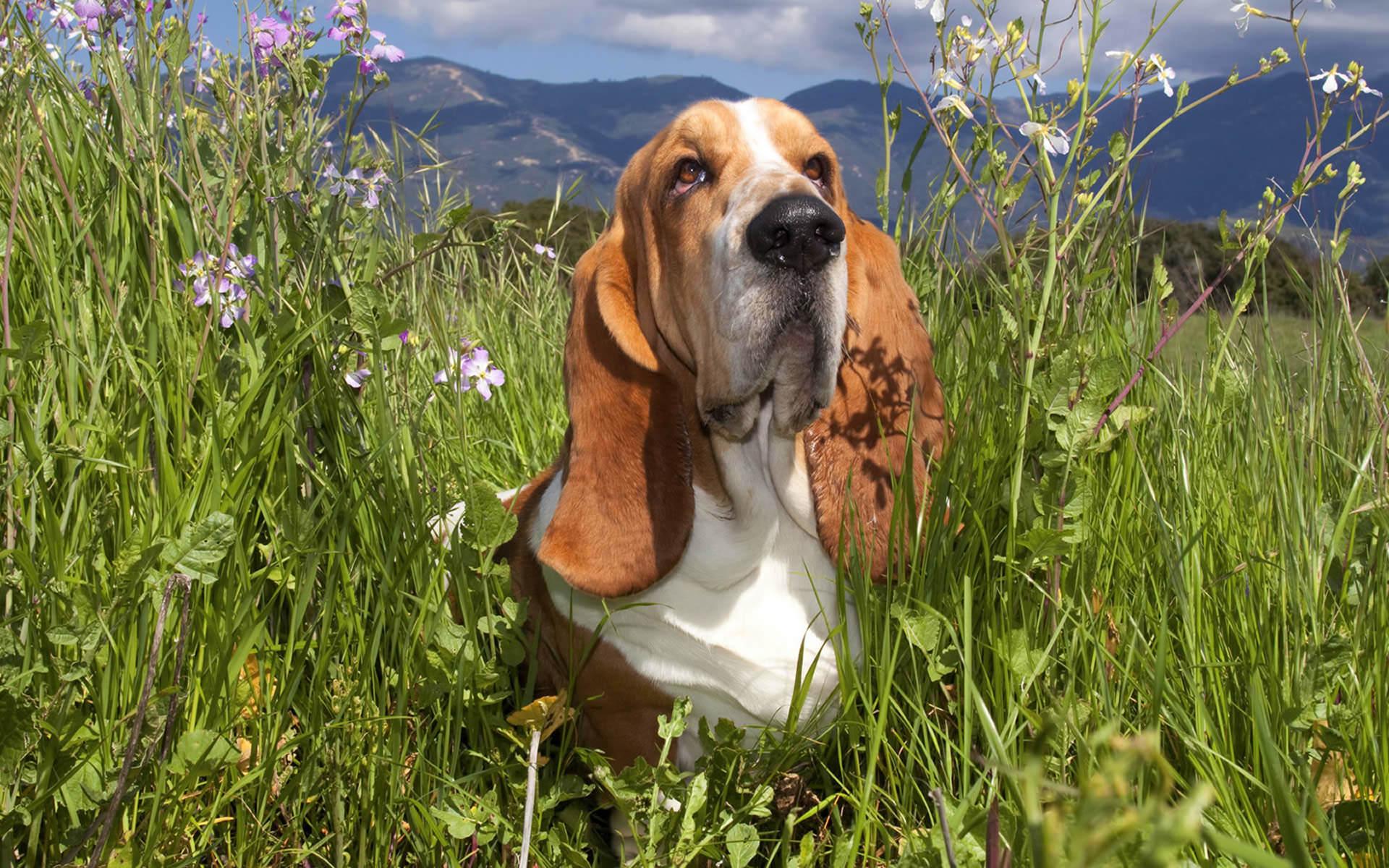 basset hound puppies wallpaper - photo #16