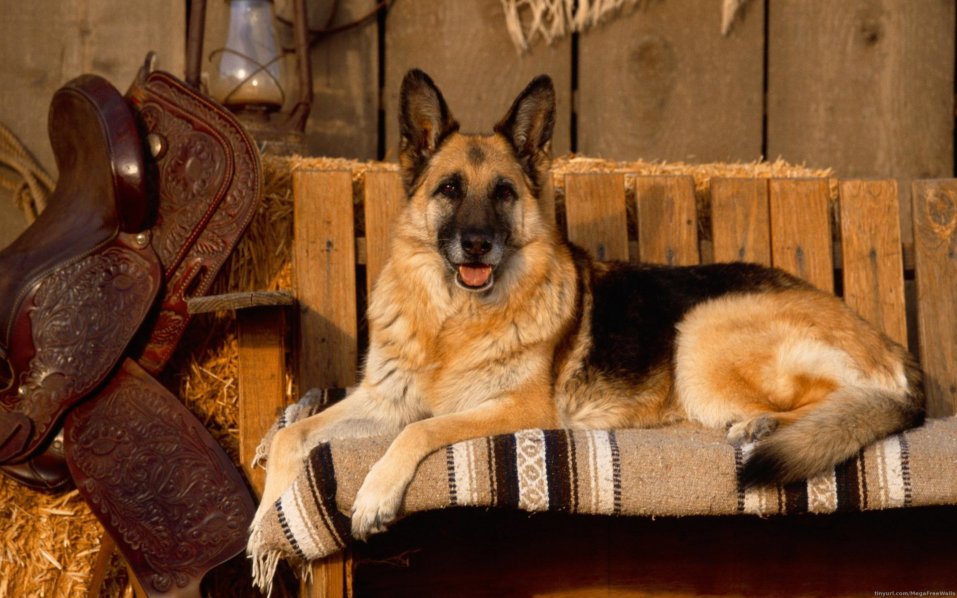 Animal - German Shepherd  Dog Animal Wallpaper