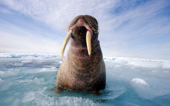 Animal - Walrus Wallpapers and Backgrounds ID : 277952