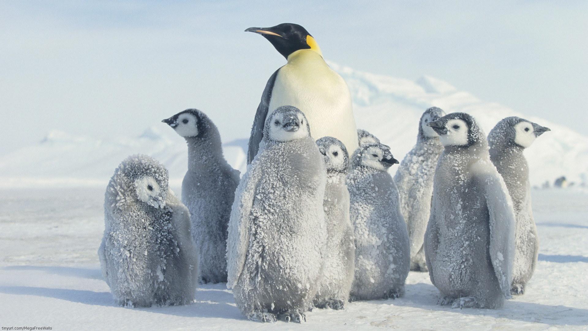 Emperor Penguin HD Wallpaper
