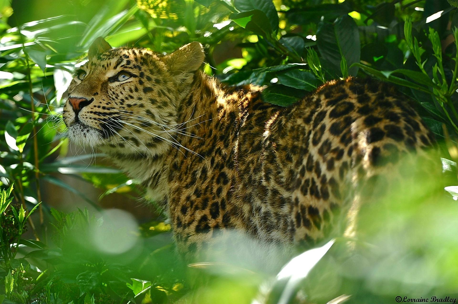 Jaguar Predator Black Animal Muzzle Art Wallpaper: Jaguar Computer Wallpapers, Desktop Backgrounds