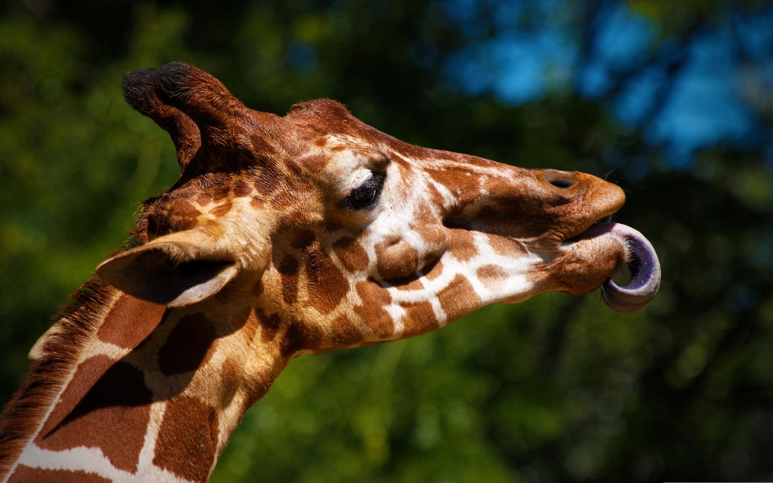 Giraffe Full HD Wallpaper and Background Image | 2560x1600 ...