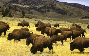 Animal - Buffalo Wallpapers and Backgrounds ID : 285610
