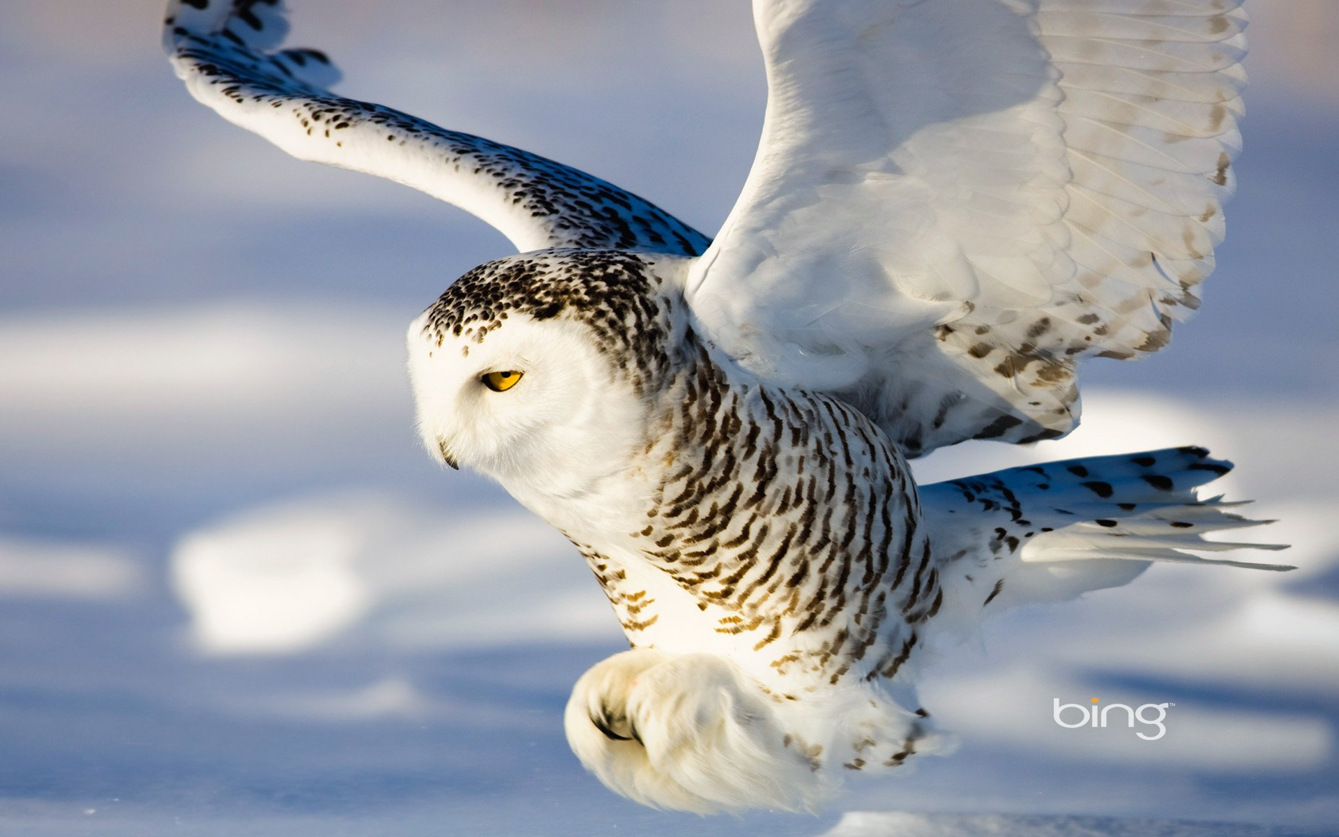 snowy owl full hd wallpaper and background image