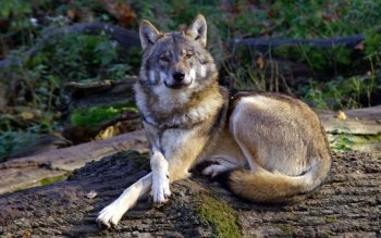 Animal - Wolf Wallpapers and Backgrounds ID : 433720