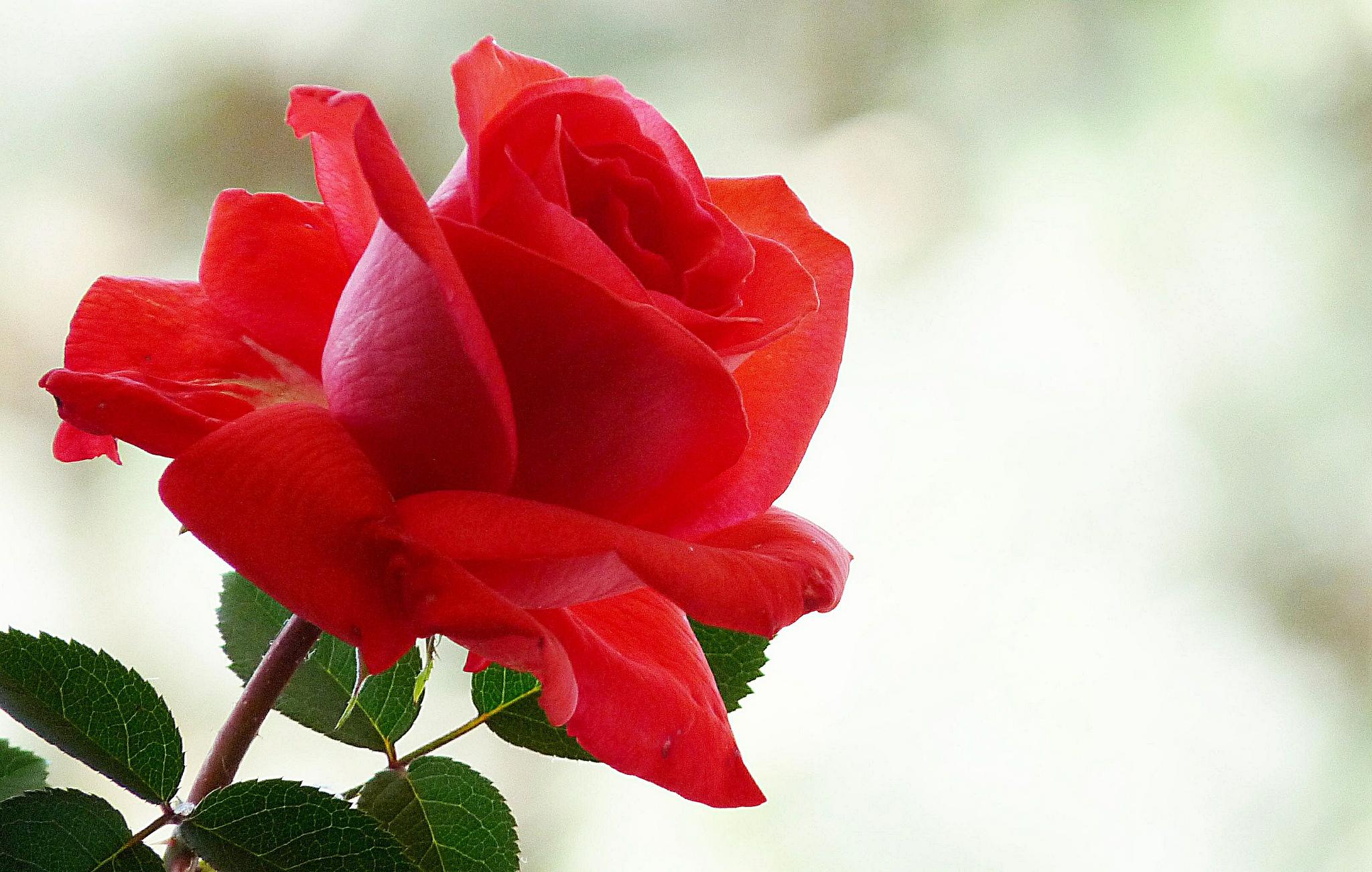 Rose full hd wallpaper and background image 2048x1302 - Big rose flower wallpaper ...